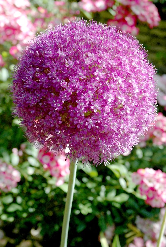 Fabuleux Allium : semer ou planter – Ooreka XA65