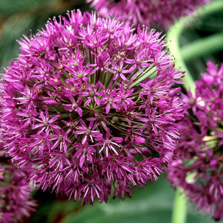Espèces hautes à grosses fleurs 'Purple Sensation'