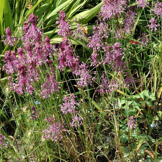 Espèces moyennes Allium carinatum ssp. pulchellum