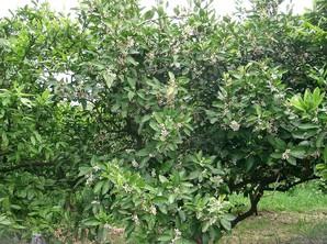 Plantation du mandarinier 'Satsuma'