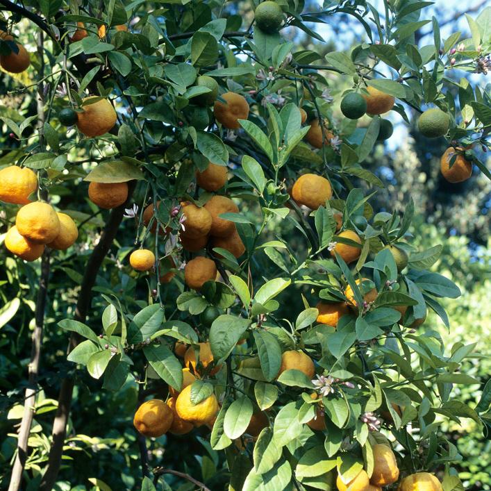 Citrus unshiu, Citrus reticulata subsp. unshiu 'Satsuma'