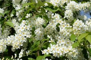 Plantation du <em>Prunus padus</em>