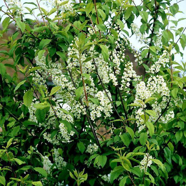 Cultivars Prunus padus 'Nana'
