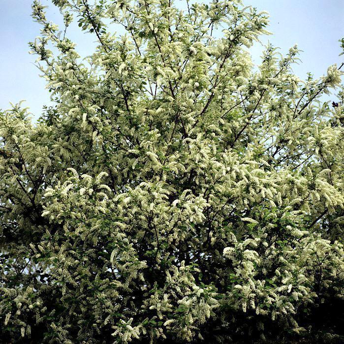 Cultivars Prunus padus 'Watereri' (syn. P.p. 'Grandiflora')