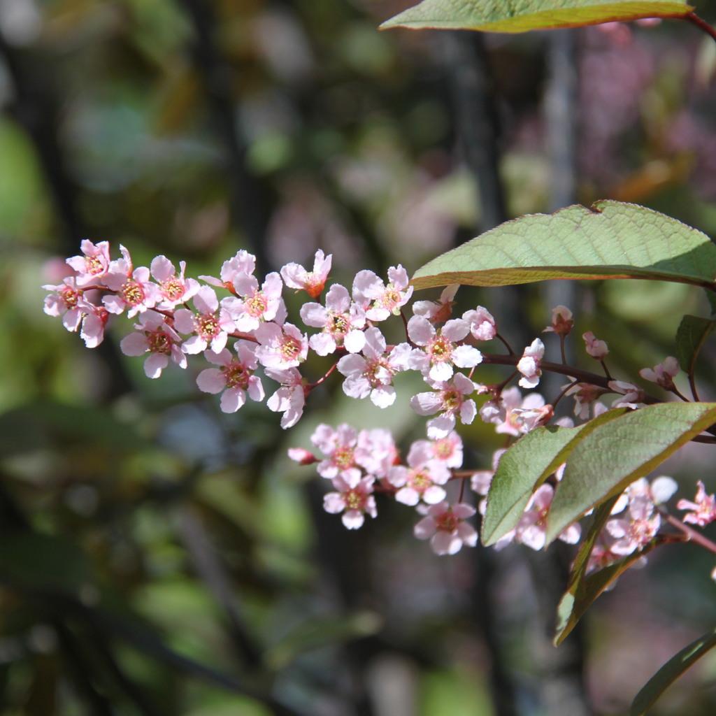 Cultivars Prunus padus 'Colorata'