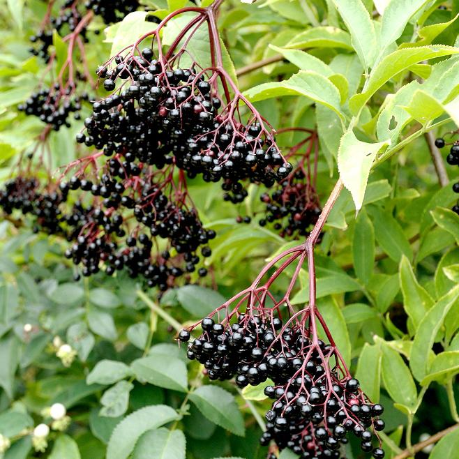 Sureau pourpre (Sambucus nigra) 'Black Tower'