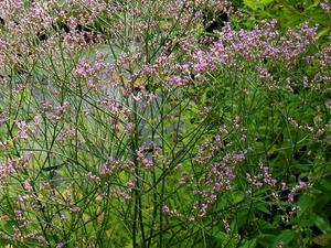 Plantation de <em>Limonium latifolium</em>