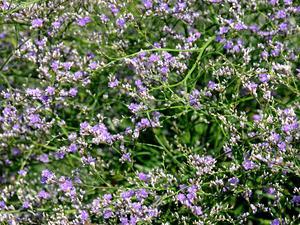 Multiplication des <em>Limonium latifolium</em>