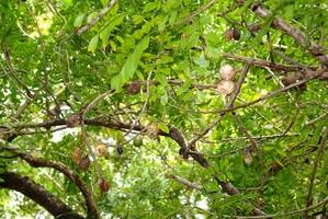 Multiplication du prunier mombin