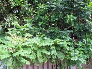 Plantation du prunier mombin