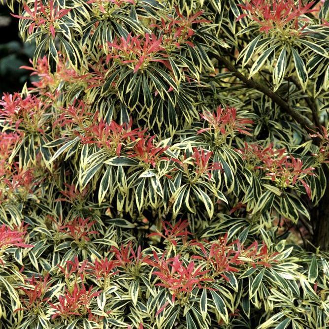 Arbustes nains pour pots et petits jardins Pieris japonica 'Little Heath Variegata'