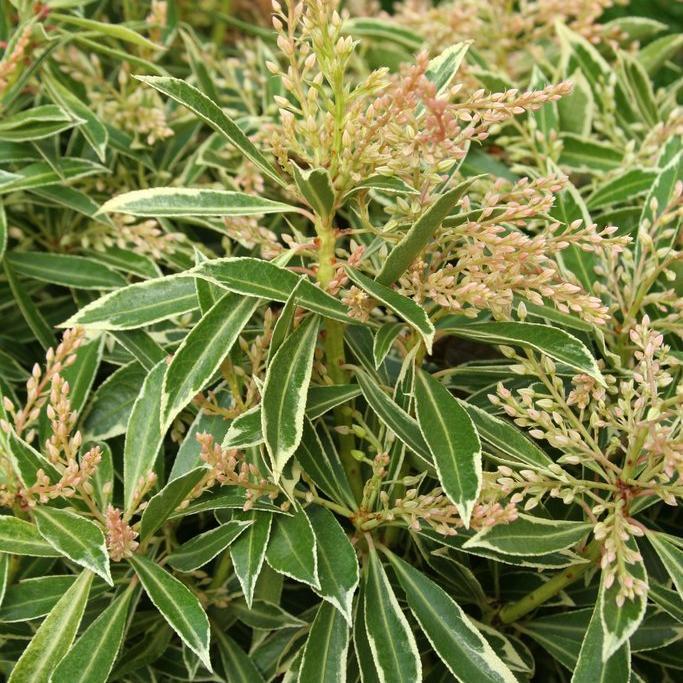 Arbustes nains pour pots et petits jardins Pieris 'Flaming Silver'
