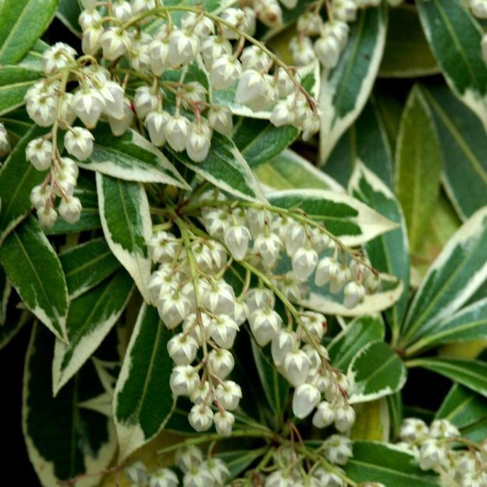 Arbustes nains pour pots et petits jardins Pieris japonica 'White Rim' (syn. P. japonica 'Variegata')