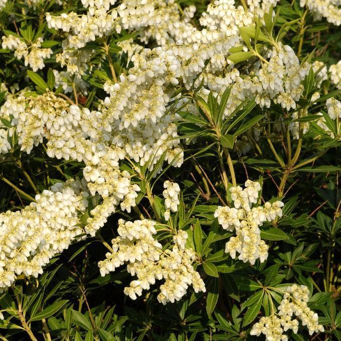 Arbustes nains pour pots et petits jardins Pieris japonica 'Prelude'