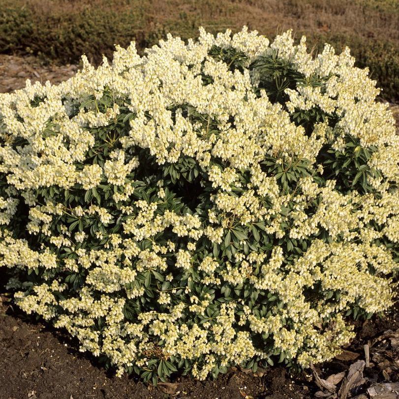 Arbustes nains pour pots et petits jardins Pieris japonica 'Débutante'