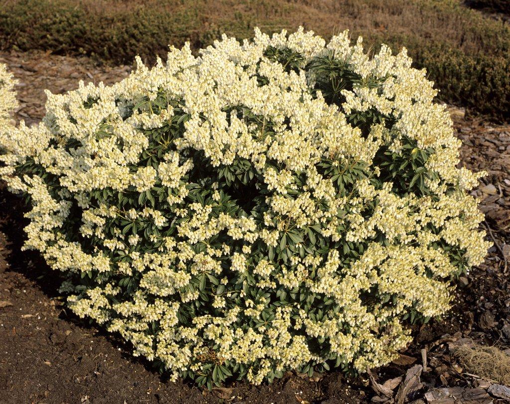 Androm de planter et entretenir ooreka - Arbustes nains pour bordure ...