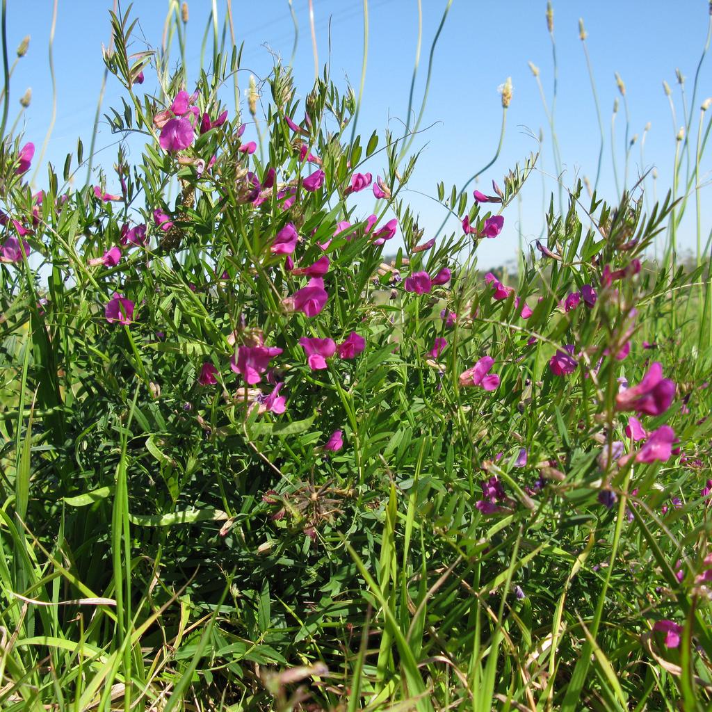 Vesce semer et cultiver ooreka for Plante 7 folioles
