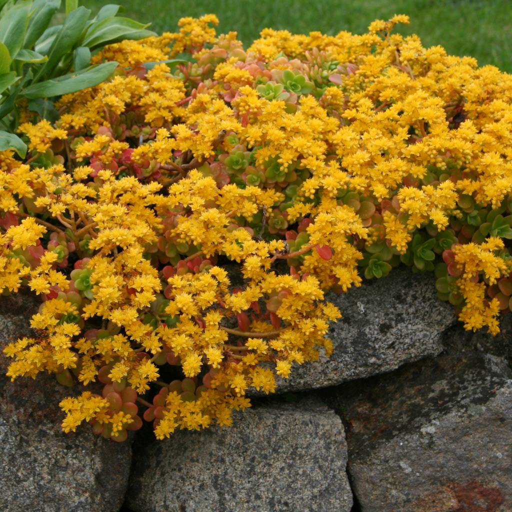 Orpin âcre, orpin jaune, poivre des murailles (Sedum acre) 'Aureum'