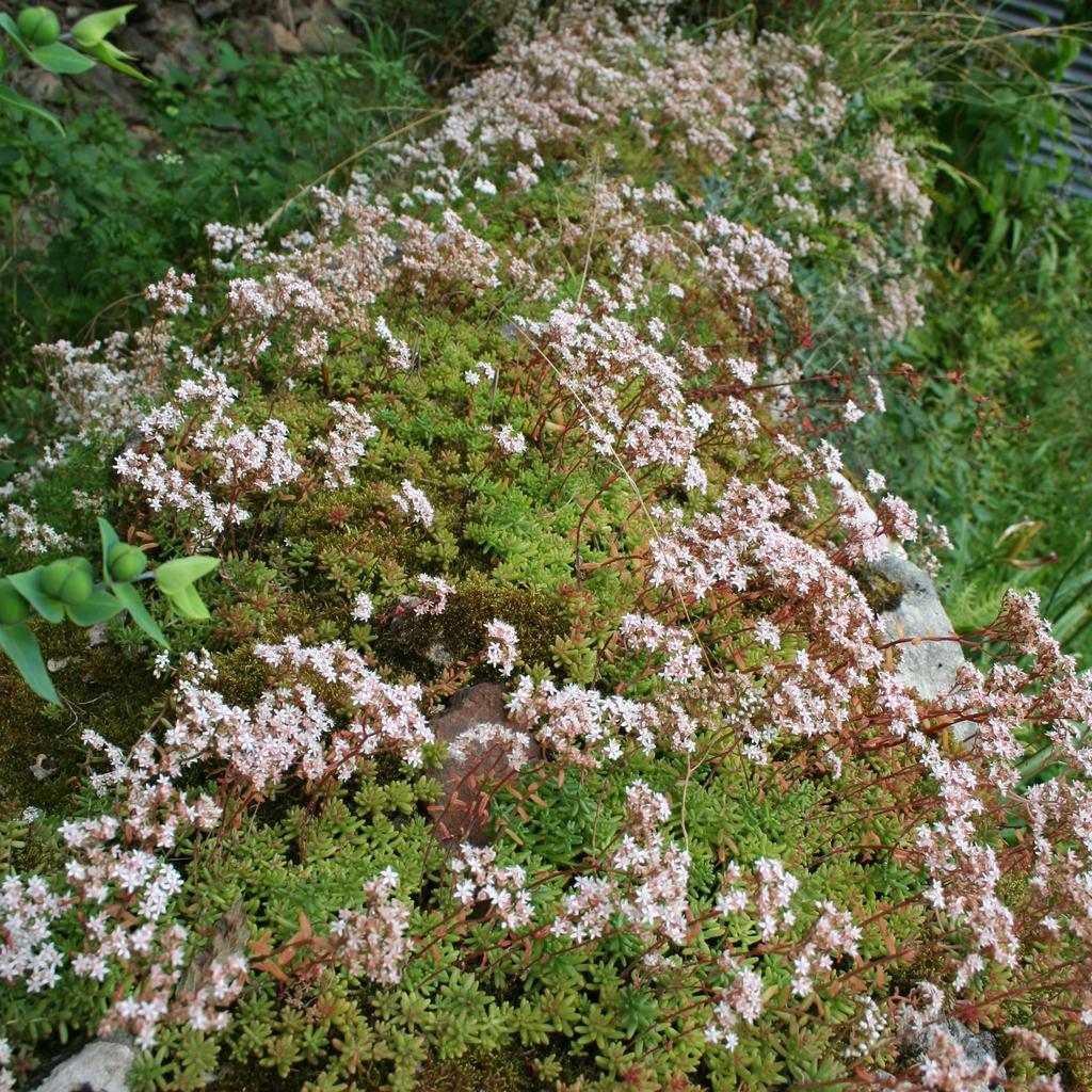 Orpin blanc (Sedum album) subsp. teretifolium var. murale