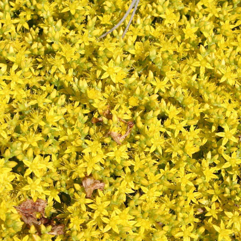 Orpin âcre, orpin jaune, poivre des murailles (Sedum acre) Espèce type