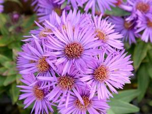 Multiplication de l'aster
