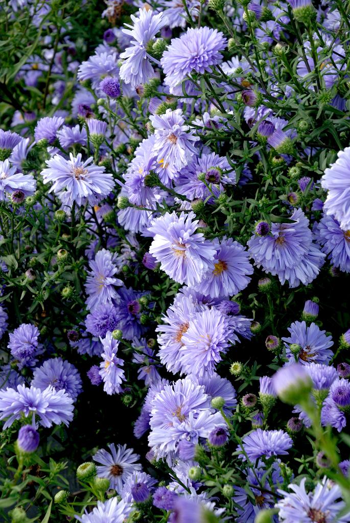Beau aster d automne entretien 11 le chrysanth me - Chrysantheme entretien ...