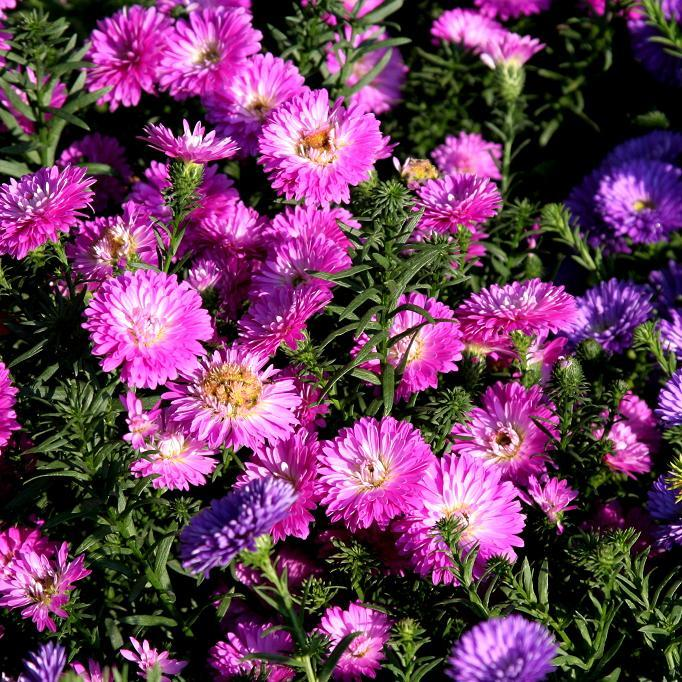 Asters nains d'automne Aster dumosus-hybrides
