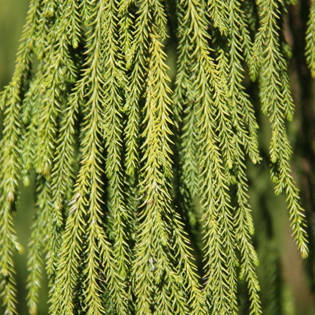 Pin rimu, pin rouge des Anglais, New Zealand rimu (Dacrydium cupressinum, syn. Thalamia cupressina) Espèce type