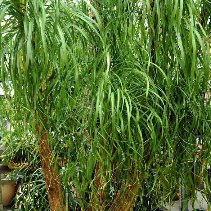 Plante d'intérieur Beaucarnea recurvata