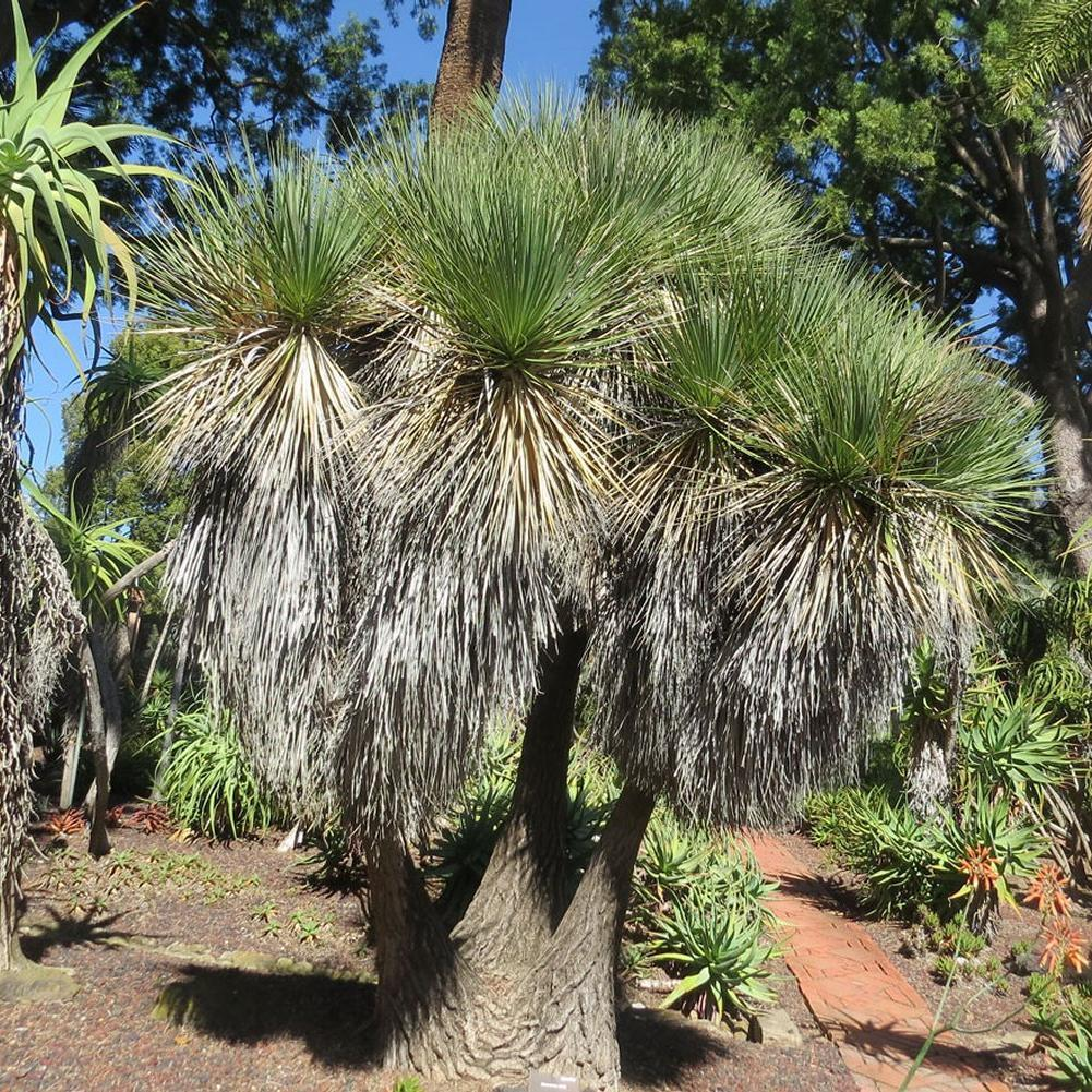 Arbre jardin subtropical Beaucarnea stricta (parfois appelé arbre-bouteille)