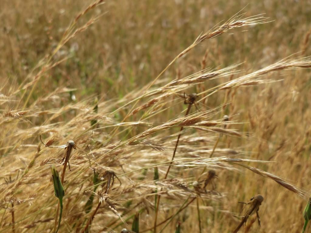 Flouve odorante planter et entretenir ooreka for Plante odorante