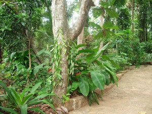 Plantation du vanillier