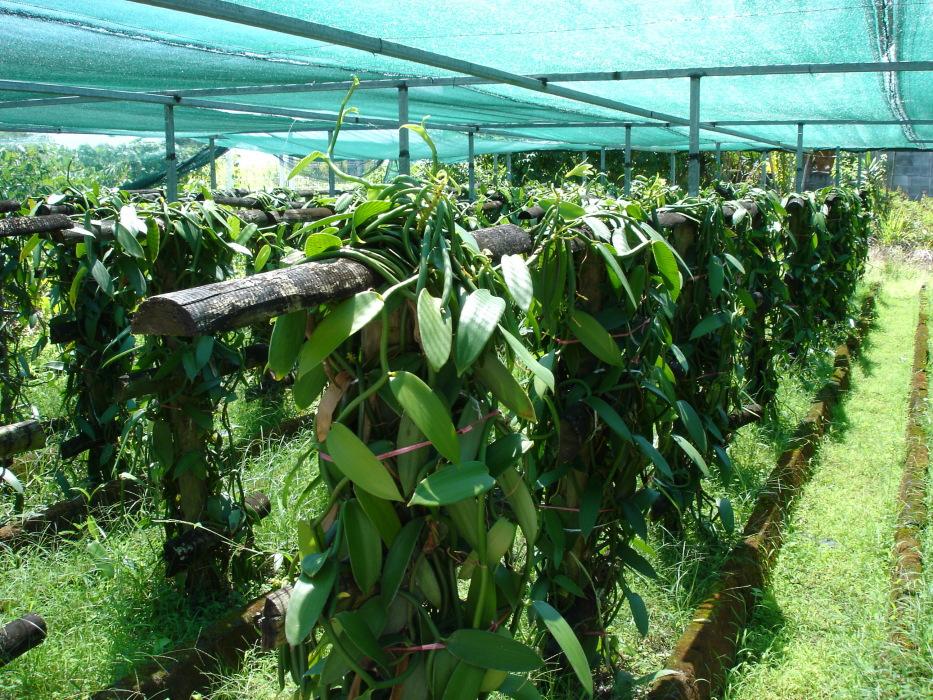vanille plante