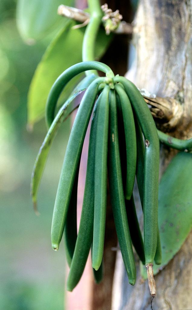 planter un vanillier