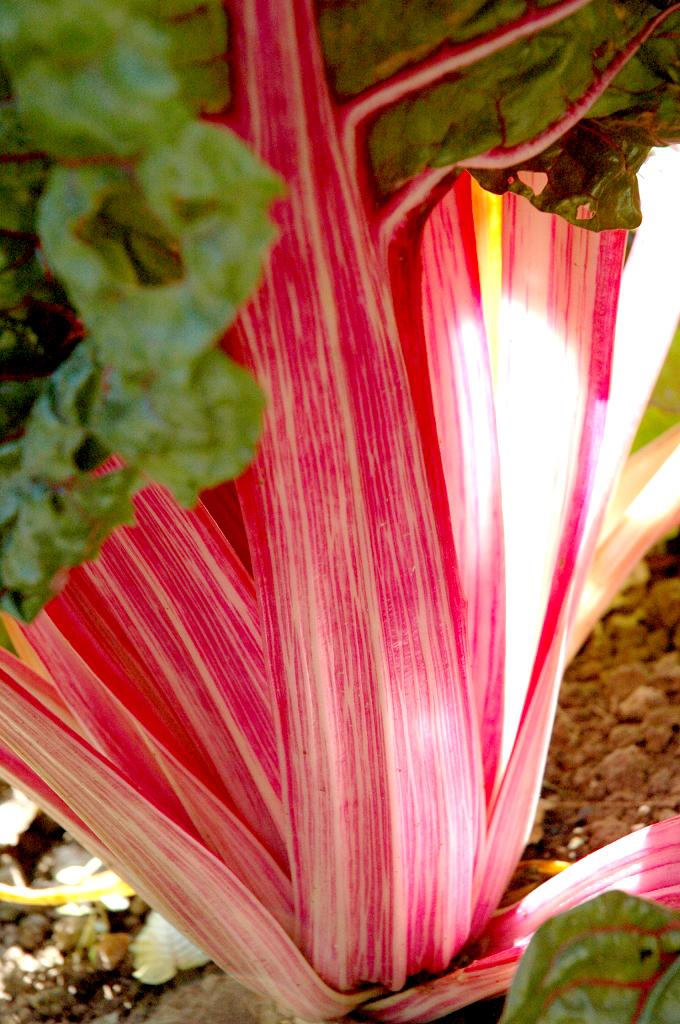 Blette cultiver et entretenir ooreka for Tous les plantes