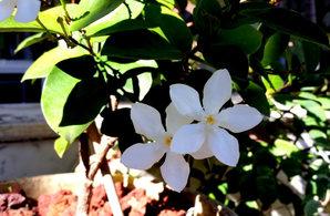 Plantation de <em>Wrightia antidysenterica</em>