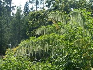 Plantation du <em>Datisca cannabina</em>