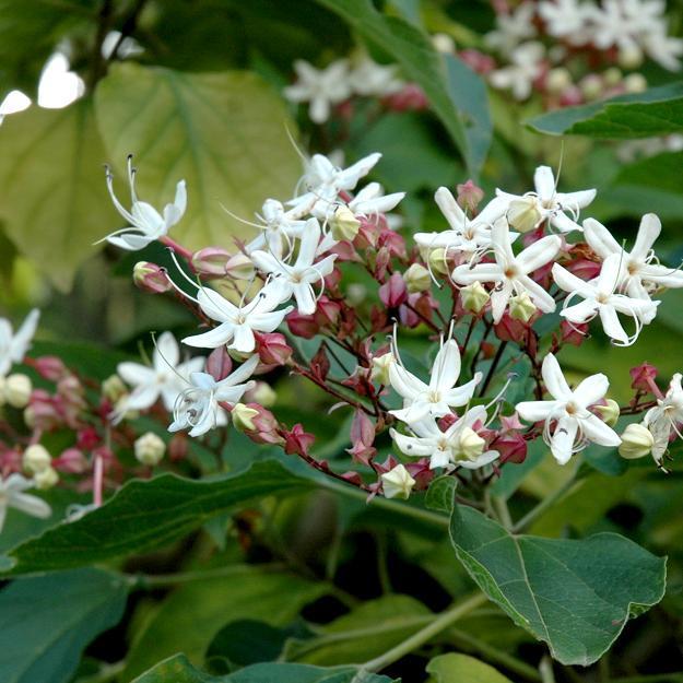 Espèces gélives Clerodendrum fragrans