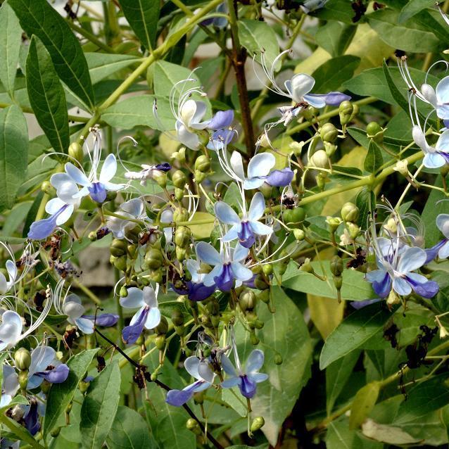 Espèces gélives Clérodendron de Guinée (Clerodendrum myricoides 'Ugandense'; syn Rotheca myricoides)