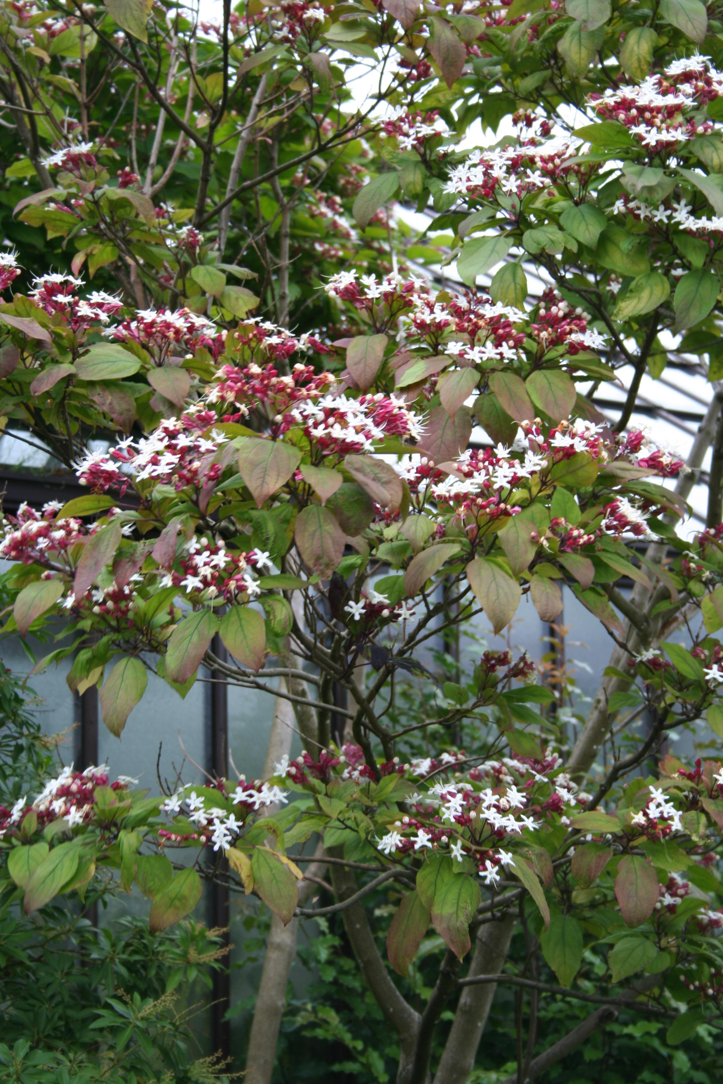 Arbre Persistant En Pot clérodendron : planter et entretenir – ooreka