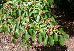 Plantation du <em>Stewartia</em>
