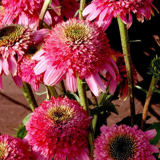 Echinacea purpurea 'Rassmatazz'