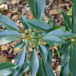 Dictionnaire des plantes plantes commen ant par la lettre t - Fleur commencant par t ...