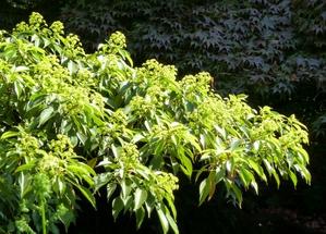 Multiplication du <em>Trochodendron aralioides</em>