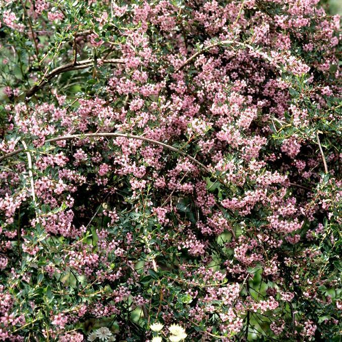 Hybrides moyennement ou peu vigoureux 'Apple Blossom'