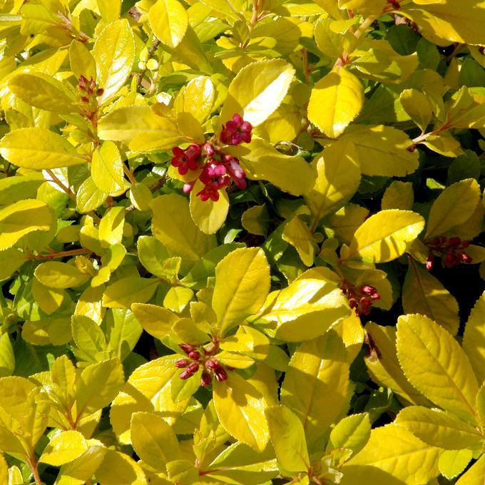 Hybrides moyennement ou peu vigoureux Escallonia laevis 'Gold Ellen'