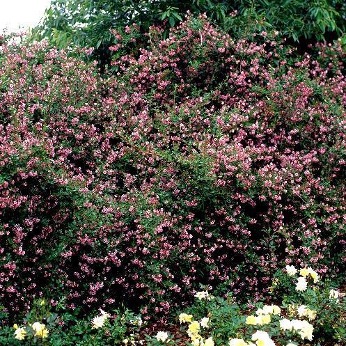 Espèces type Escallonia rubra var. macrantha