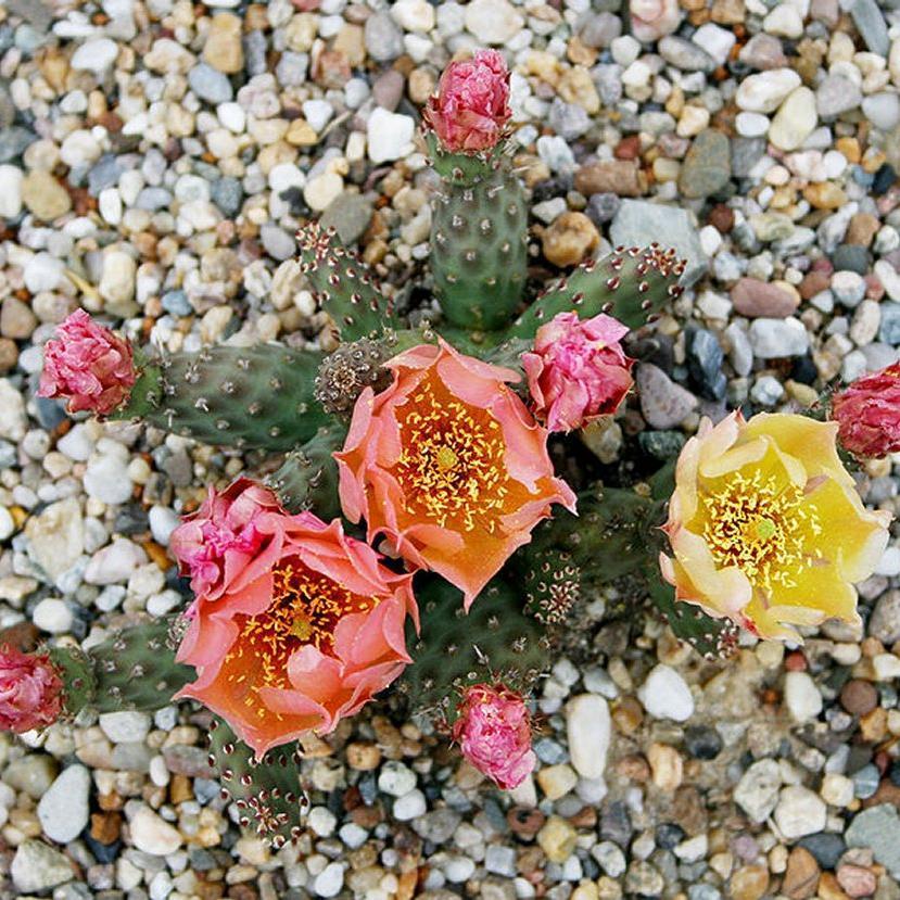 Autres Opuntias plus rustiques Opuntia fragilis