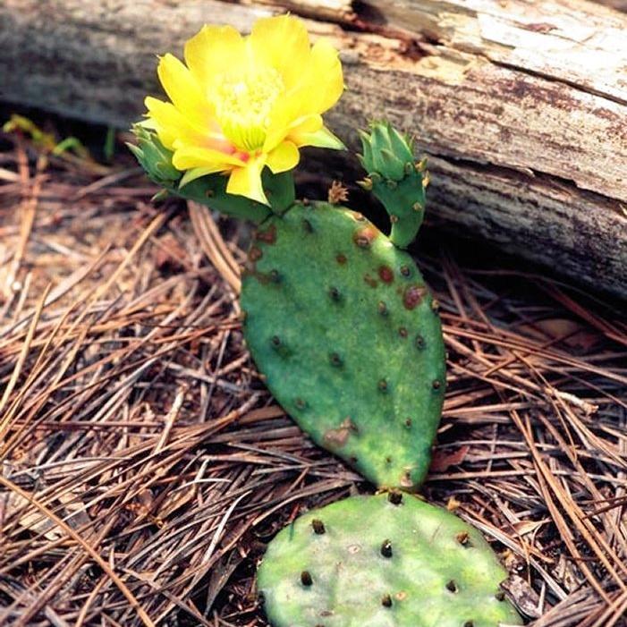 Autres Opuntias plus rustiques Opuntia humifosa