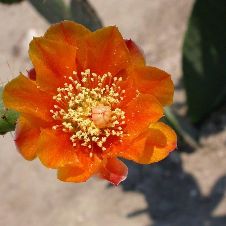 Figuiers de Barbarie Opuntia ficus-indica var fleur orange